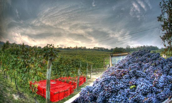 Langhe and Roero, Italien: Vendemmia