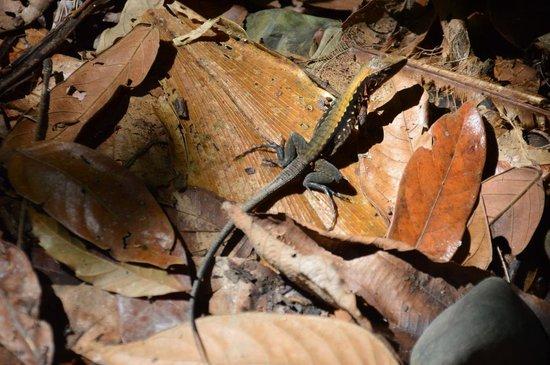 Playa Manuel Antonio: Lizard just off the path