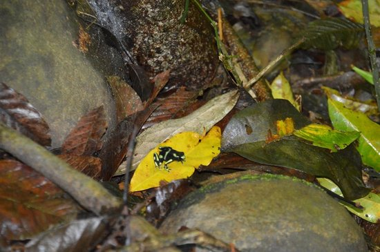 Carara National Park: Black & Green Poison Arrow Frog