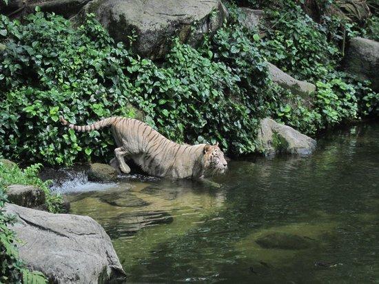 Singapore Zoo : la tigre
