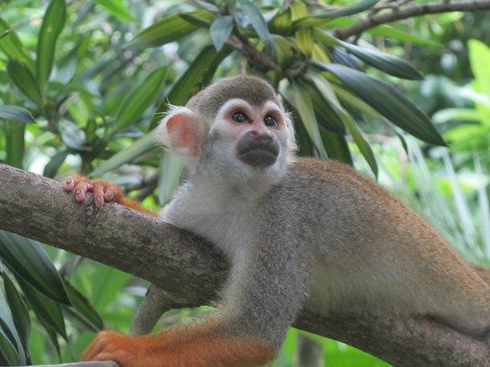 Singapore Zoo : scimmietta