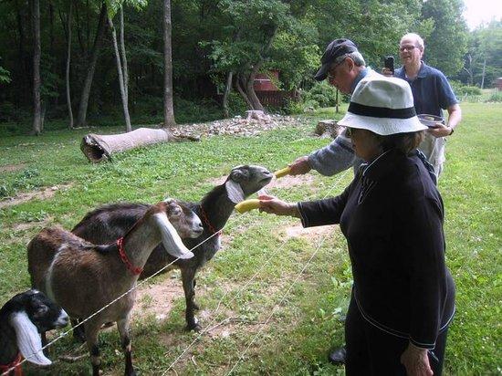 Stoney Meadow Inn B&B : Bananas for the goats