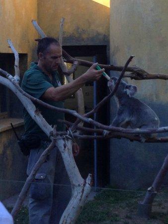 Zoo Aquarium de Madrid : Koala siendo alimentado