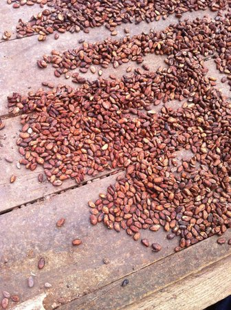 The Grenada Chocolate Company: Cocoa beans drying in the sun