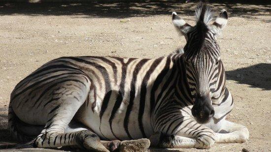 Zoobotánico Jerez: Zebra