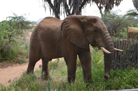 Elephant Bedroom Camp: Elefante de visita por el Camp