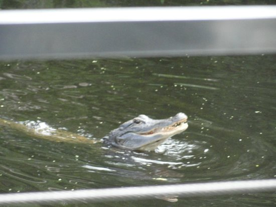 Cajun Pride Swamp Tours: Alligator!