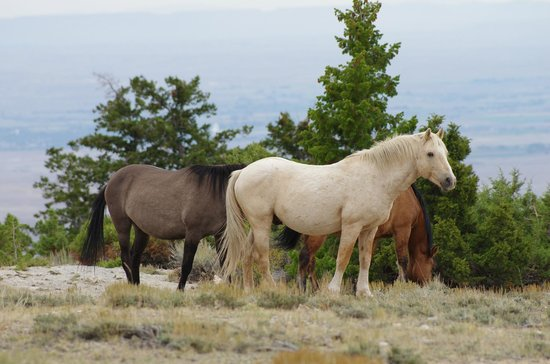 Mountains Top Horses - Picture of Pryor Mountain Wild ...