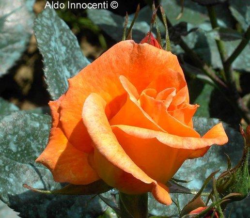 Roseto Botanico Carla Fineschi: Rosa 1