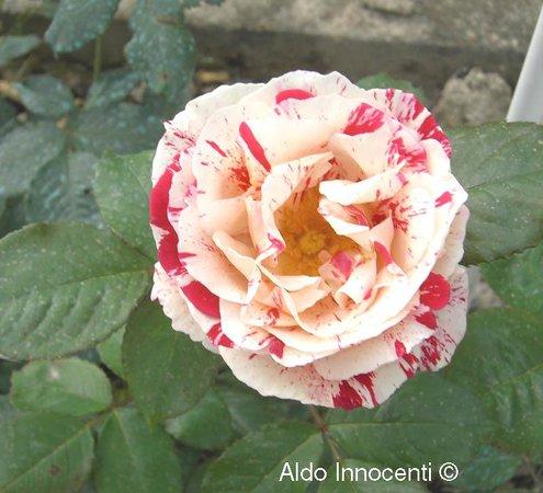 Roseto Botanico Carla Fineschi