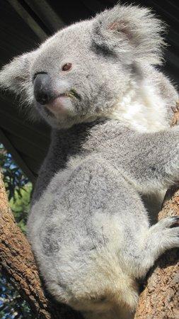 Taronga Zoo: Koala Exhibit