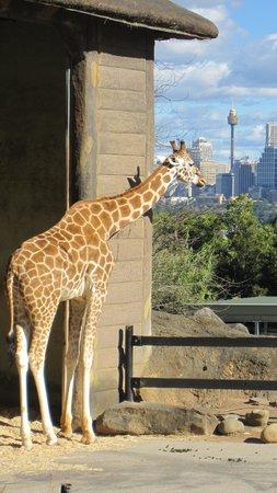 Taronga Zoo: African Exhibit With Sydney in backdrop