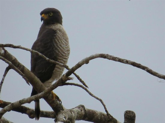 Madidi Jungle Ecolodge: Roadside Hawk, one of may along the river