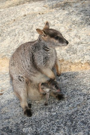 Northern Explorer Tours: Kangaroo with Joey we saw on the tour