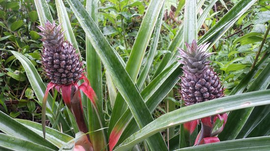 Popa Paradise Beach Resort: Pineapples growing everywhere!