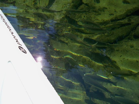 Central Florida Nature Adventures: fish through clear water