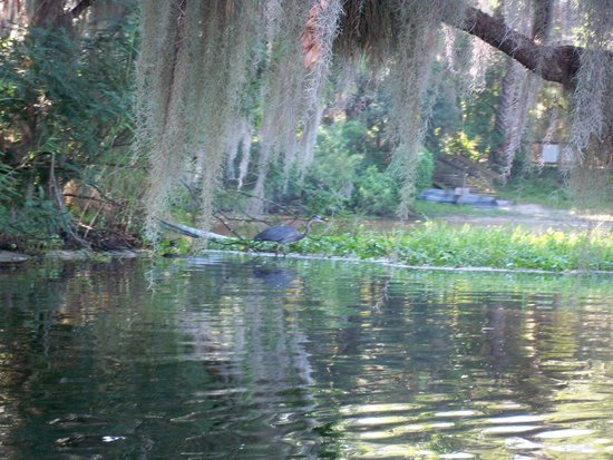 Central Florida Nature Adventures: great blue heron