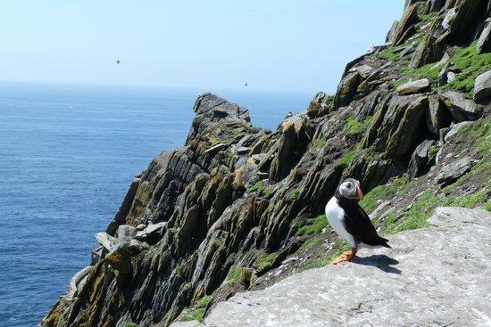 Caherdaniel, Ирландия: puffin on Skellig Michael