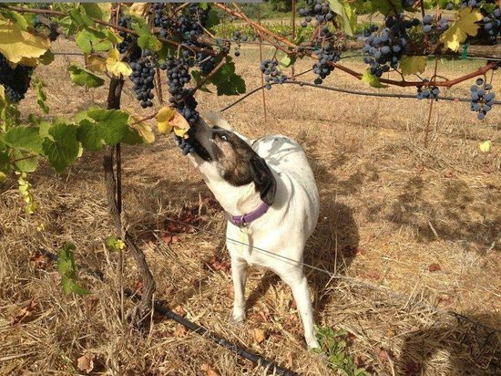 Russian River Vineyards: Chester our winery dog just can't keep his paws off the grapes!