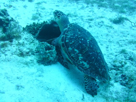 Plongee Grand Cozumel Diving: la tortue