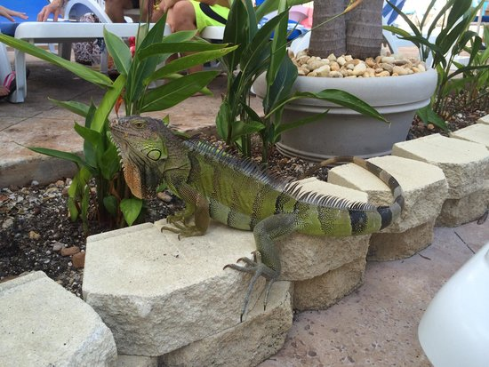 DoubleTree by Hilton Hotel Grand Key Resort - Key West : Watch for the lizard near the pool