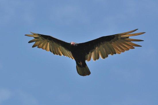 Mombacho Lodge: Turkey vulture