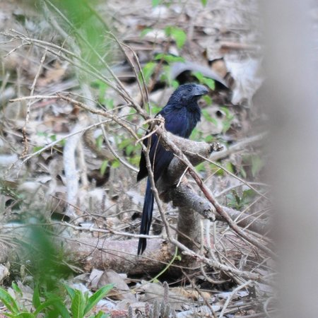 Mombacho Lodge: Groove billed Ani that I saw from my porch