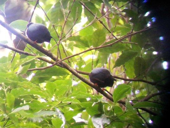 Reserva Curi-Cancha: Two male manakins singing
