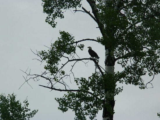 The Four Seasons Island Resort : One of the many bald eagles we saw