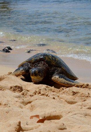 Poipu Beach Park: Sea turtle