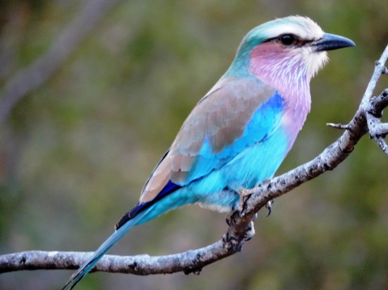 Garonga Safari Camp: The beautiful lillac breasted roller bird