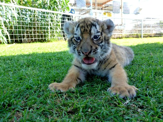Greater Wynnewood Exotic Animal Park: Great play session with a 5 week old tiger.  Photo taken on 6/7/2014.