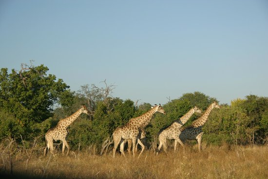 Chobe Game Lodge: Another sighting while out with our guide