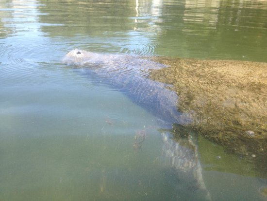 Fun 2 Dive: manatee coming up for air
