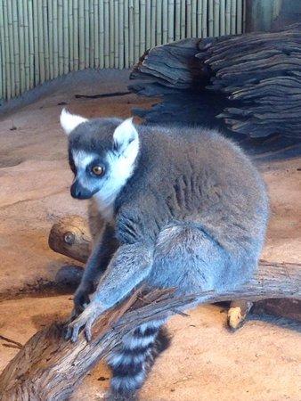 South Carolina Aquarium : Lemur