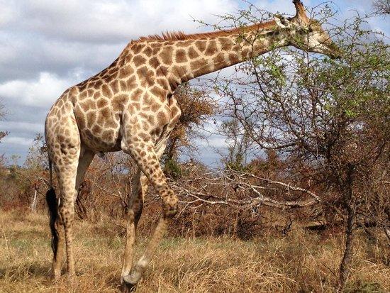 Tintswalo Safari Lodge: beautiful animal