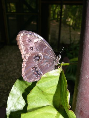 The Lodge at Chaa Creek : Butterfly at Chaa Creek