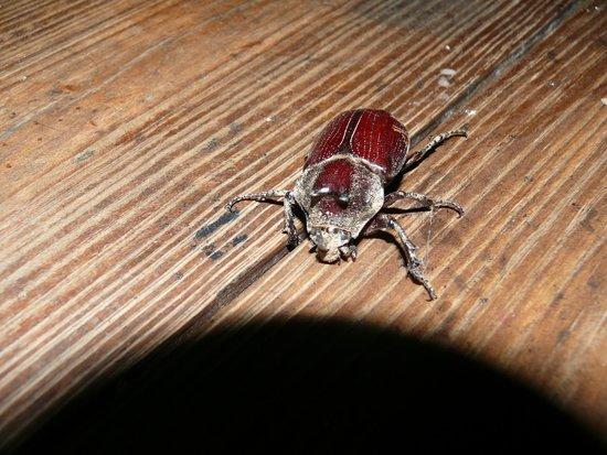 The Lodge at Chaa Creek : Cool beetle at Chaa Creek