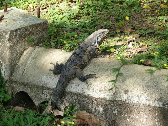 The Lodge at Chaa Creek : Iguana at Chaa Creek