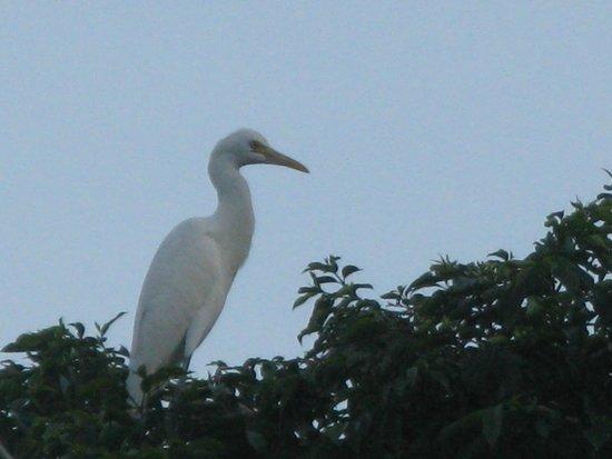 Petulu White Herons : Petulu egret