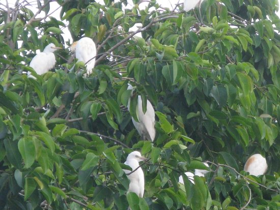 Petulu White Herons : Petulu herons