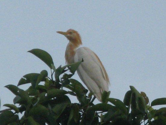 Petulu White Herons: Petulu Kokokan
