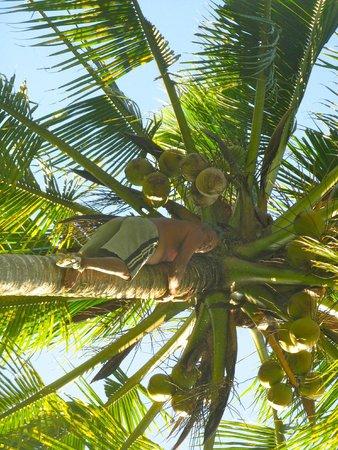 Puri Saraswati Bungalows: Ubud coconut tree climber