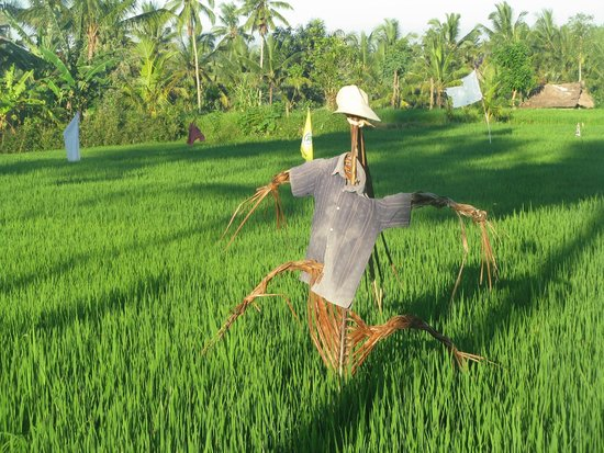 Puri Saraswati Bungalows: Ubud rice paddies