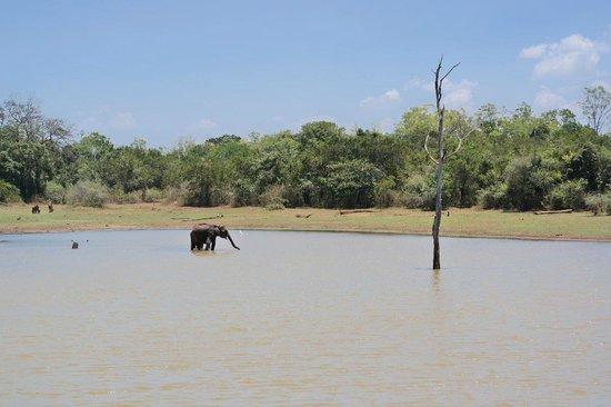 Mahoora Tented Safari Camp - Udawalawe: Elefant in water