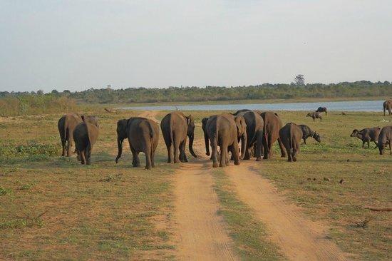 Mahoora Tented Safari Camp - Udawalawe: Elefant in park