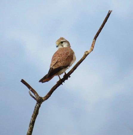 Barking Owl Retreat : Nankeen Kestrel