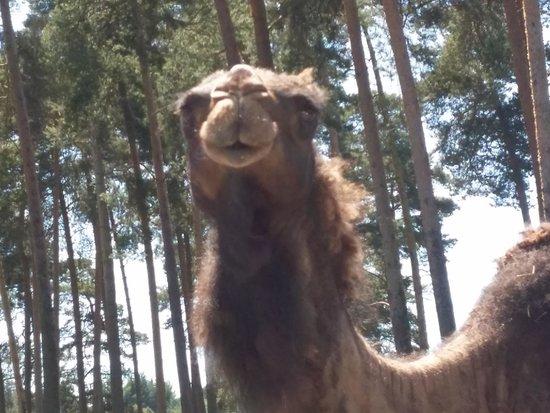 Serengeti-Park Hodenhagen: Kamel