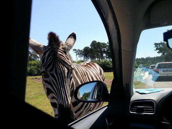 Serengeti-Park Hodenhagen: Zebra