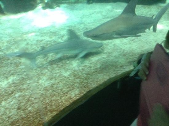 Acquario di Genova : squali